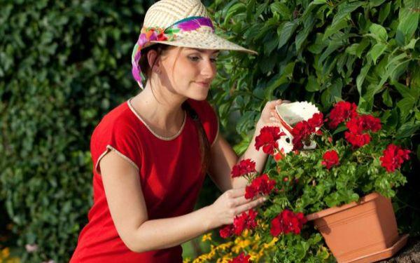 Najlepsze nawozy do pelargonii uprawianych na balkonie