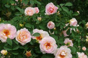 Róże zdjęcie